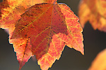 Fall Maple Leaves, orange red