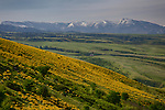 Idaho, North Central, Idaho County, Grangeville. Arrowleaved Balsamroot carpet the hillsides of whitebird hill with the Clearwater Mountains in the distance.