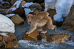 A Japanese Macaque caries her young across a stream, Japanese Alps, Honshu Island, Japan