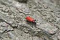 Cardinal beetle (Pyrochroa coccinea), late May.