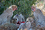 Africa, South Africa, Kwandwe. A mother cheetah and her four cubs devour a carcass at Kwandwe Game Reserve.