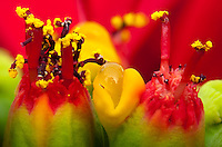 A sample of the detail visibile in my &quot;Poinsettia inflorescence extreme closeup&quot;.  To see the full image or purchase a copy, go to that image. <br /> <br /> That picture is a closeup of a poinsettia flower cluster from the side.  Many people confuse the bracts (red leaves) with the actual flowers; they're quite different.   This macro shot shows multiple pseudanthia surrounded by a sea of red bracts (colored leaves associated with a flower; mostly out of focus in this picture).  The flowers themselves are called cyanthia; the green tissue surrounding each flower is an involucre, a cluster of bracts (leaves) fused into a cup-shaped structure that contains multiple male flowers and supposedly one female flower within it, though I see multiple stigma in each involucre.  Emerging from the involucre you can see red filaments supporting yellow anthers on the male flowers, and you can even see some of the pollen grains.  Also emerging from each involucre you can see a number of dark-purple structures supported by short stalks (that are about a tenth of the height of the filaments; I'm not sure what these are - they may be stigmas and styles, but I doubt it)The bright yellow, liquid-filled structures attached to the involucre are nectar glands filled with nectar to attract pollinators.