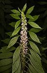Motherwort Flower