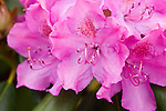 Azelea blooms, Rhododendron,Near Boone, North Carolina, early spring.
