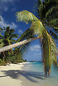 Marshall Islands, Micronesia: Majuro Atoll and lagoon, Calalin Island, with coconut palm trees and couple walking on beach.  .#3305-7814