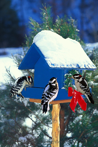 Three woodpeckers on blue painted birdfeeder decorated with holiday wreath and box