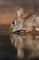 673280047 a wild desert cottontail rabbit sylvilagus audubonii drinks at a small pond on santa clara ranch hidalgo county rio grande valley texas united states