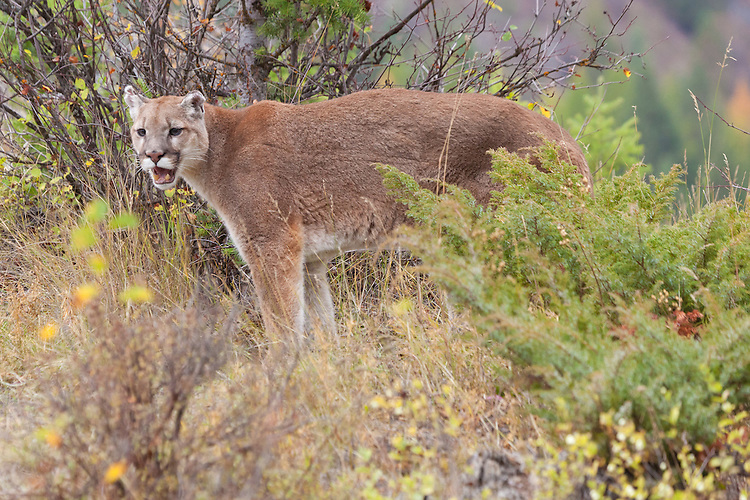 Mountain Lion standing at the edge of a hill snarling - CA