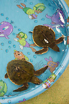 Green Turtles In Pool Warming Up