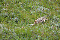 Wolf of the Grant Creek pack feeds on a caribou carcass, Denali National Park, interior, Alaska.