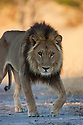 Botswana, Okavango Delta, Moremi; male lion approaching