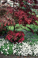 Acer palmatum Japanese maple tree , Azalea, Scilla, Iberis in spring flowering garden
