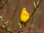 Yellow Warbler (Dendroica petechia), male singing, perched on red-osier dogwood,  New York, USA