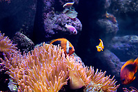 420090001 a captive tomato clownfish amphiprion frenatus rests in a large anemone species is native to western indo-pacific