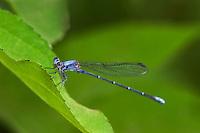 338550005 a wild powdered dancer damselfly argia moesta perches on a leaf in gonzales county texas