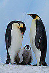 Emperor penguins with chick, Antarctica