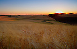 Idaho, North Central, Moscow, the Palouse. Wheat fields in late summer under a setting sun.