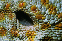 GK28-004x  Tokay Gecko - ear opening -  Gekko gecko