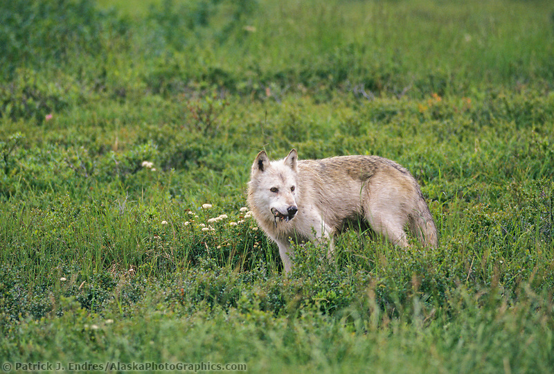 Gray wolf chews on duckling captured in sheltered grasses, Denali National Park, Alaska