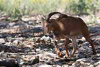 The Barbary Sheep, Ammotragus lervia, is a species of caprid (goat-antelope) native to rocky mountains in North Africa.