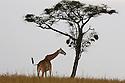 Tanzania, Serengeti, Maasai giraffe (Giraffa camelopardalis) in savannah