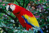 SCARLET MACAW (Ara macao), the king of the RAINFOREST - GAUTAMALA