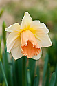 Daffodil (Narcissus 'Sagitta'), a Division 1 Trumpet variety, mid February.