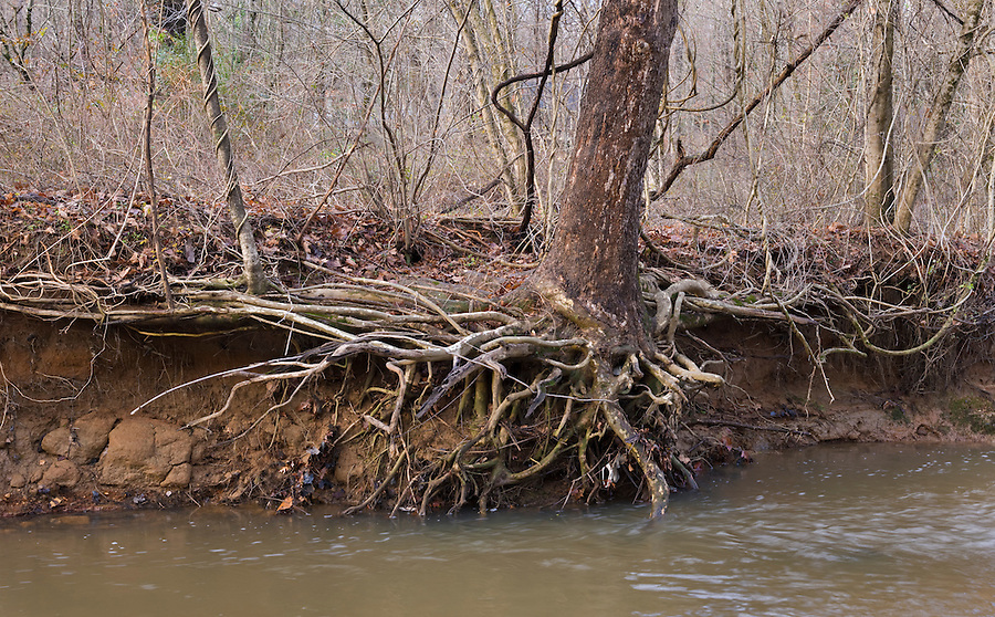 Roots of sycamore tree (Platanus occidentalis) exposed by floodwaters of Meadow Creek, a small stream that runs through Charlottesville, Virginia. Heavy storm runoff due to impervious surfaces throughout the watershed severely erodes stream banks and causes siltation and flooding downstream.