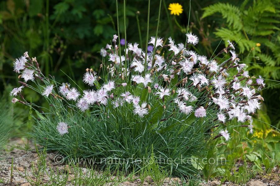 Sand-Nelke, Sandnelke, Dianthus arenarius, Sand Pink