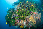 Bligh Waters, Rakiraki, Viti Levu, Fiji; several Golden Damsel fish swim above large colonies of green Black Sun Coral, intermixed with colorful soft corals and sea fans, along a sheer vertical wall