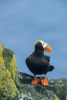 Tufted Puffin, St. Paul Island, Pribilof Islands, Alaska.