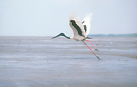 Jabiru taken flight coastal mudflats northern Australia