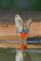 510440139 after taking a quick drink a wild male painted bunting passerina ciris takes flight from a small pond in the rio grande valley of south texas
