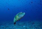 Wrasse; Cheilinus undulatus; Maldives; atolls; islands; tropics; sea life; fish life; holiday; lifestyle; Indian Ocean; blue sky; lagoon; coral reefs