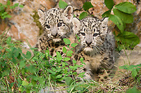 Snow Leopard kittens sitting, standing, watching - CA