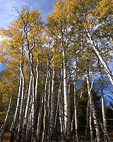 Aspens south of Mammoth, Yellowstone National Park, Wyoming. Aspens typically grow in large clonal colonies derived from a single seedling, and spreading by means of root suckers; new stems in the colony may appear at up to 98-130 ft from the parent tree. Each individual tree can live for 40-150 years above ground, but the root system of the colony is much longer lived. In some cases, it may be for thousands of years, sending up new trunks as the older trunks die off above ground. A colony in Utah is thought to be 80,000 years old.