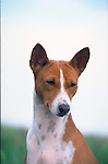Basenji<br /> <br /> <br /> <br /> Shopping cart has 3 Tabs:<br /> <br /> 1) Rights-Managed downloads for Commercial Use<br /> <br /> 2) Print sizes from wallet to 20x30<br /> <br /> 3) Merchandise items like T-shirts and refrigerator magnets