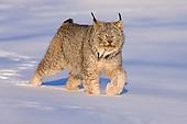 Eurasian Lynx (Lynx lynx) walking in the snow.