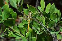 362730001 a wild immature female red-veined meadowhawk sympetrum madidum perches on a plant at dismal swamp in modoc county california