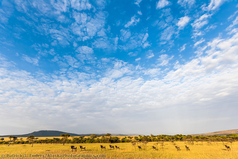 Herd of Wildebeests on the Masai Mara, Kenya, Africa