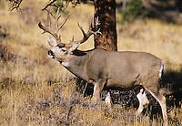Mule Deer, Black-tailed Deer (Odocoileus hemionus), Trophy buck, Colorado, USA