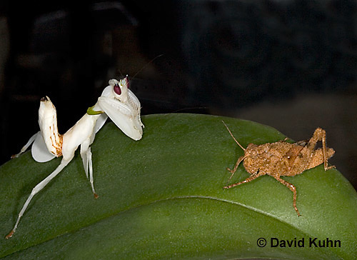 "0719-07zz  Malaysian Orchid Mantis Hunting Prey - Hymenopus coronatus ""Nymph"" - © David Kuhn/Dwight Kuhn Photography"