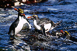 Macaroni penguins jumping from the water, South Georgia Island.