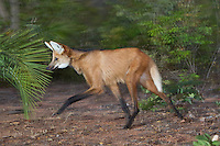 Maned Wolf (Chrysocyon brachyurus), Piaui, Brazil