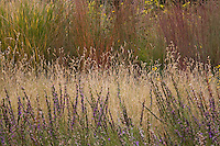 Bouteloua gracilis (blue grama grass) flowering behind Liatris punctata (gayfeather) in Porter Plains Garden meadow at Denver Botanic Garden in front of Little bluestem, Schizachyrium scoparium