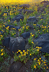 Calliopsis (Coreopsis tinctoria) blooms among volcanic rock in the fields en route to Ashurst Lake