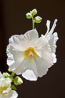 Hollyhock flowers in The Southwest