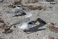 0620-0901  Royal Tern, Thalasseus maximus maximus (syn. Sterna maxima)  © David Kuhn/Dwight Kuhn Photography