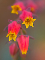 A macro image of a cactus' pink and yellow flowers on the Big Island.