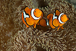 True clownfish (Amphiprion percula)
